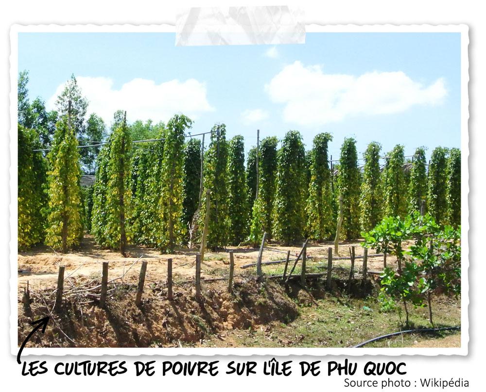 Une plantation de poivre à Phu Quoc